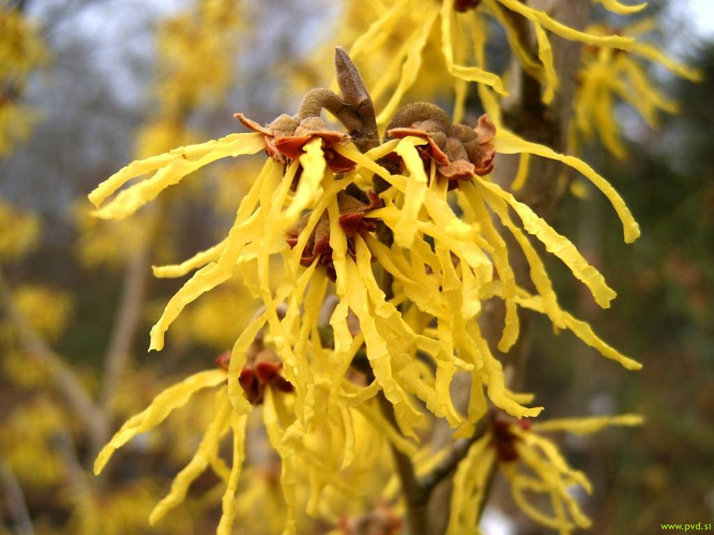 hamamelis_mollis_close